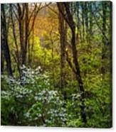 White Dogwoods Canvas Print