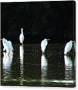 White Egrets Canvas Print