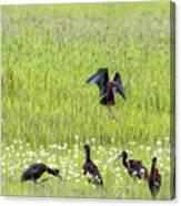 White-faced Ibis Preparing To Land Canvas Print