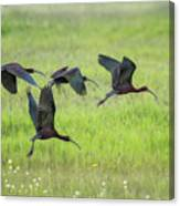 White-faced Ibis Rising, No. 2 Canvas Print