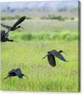 White-faced Ibis Rising, No. 3 Canvas Print