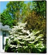 White Flowering Tree Canvas Print