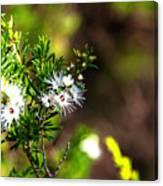 White Flowers Of Kunzea Ambigua Canvas Print