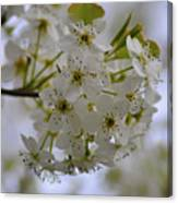 White Flowers On A Tree Canvas Print