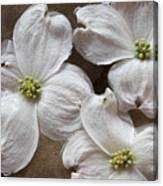 Dogwood White Flowers On Stones Canvas Print