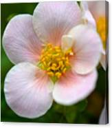 White Flowers With Pink And Yellow Canvas Print