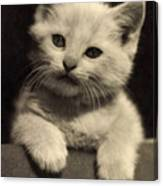 White Fluffy Kitten Canvas Print