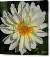 White Gerbera Canvas Print