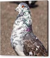 White-gray Pigeon Profile Canvas Print