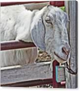 White/grey Goat Head Through Fence 2 6242018 Goat 2420.jpg Canvas Print