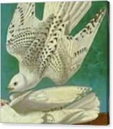 White Gyrfalcons Canvas Print