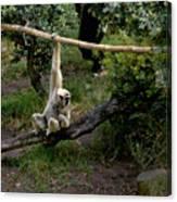 White Handed Gibbon 1 Canvas Print