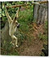 White Handed Gibbon 3 Canvas Print