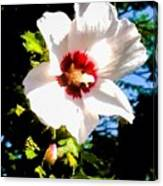 White Hibiscus High Above In Shadows Canvas Print