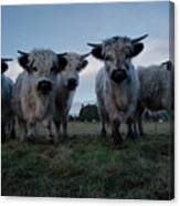 White High Park Cow Herd Canvas Print