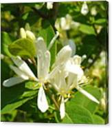 White Honeysuckle Blossoms Canvas Print