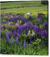 White Horse In A Lupine Field Canvas Print