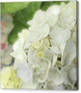 White Hydrangea At Rainy Garden In June, Japan Canvas Print