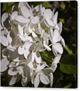 White Hydrangea Bloom Canvas Print