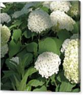 White Hydrangea Bush Canvas Print