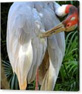 White Ibis At The Zoo Canvas Print