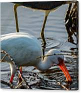White Ibis Eating Canvas Print