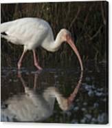 White Ibis Feeding In Morning Light Canvas Print