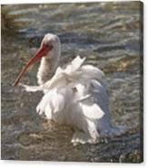 White Ibis In Florida Canvas Print