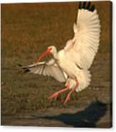 White Ibis Landing Upon Ground Canvas Print