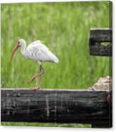 White Ibis Stepping Out Canvas Print