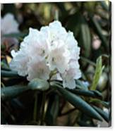 White Inflorence Of  Rhododendron Plant Canvas Print