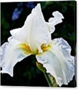 White Iris At Pilgrim Place In Claremont-california Canvas Print