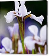 White Japanese Iris 2 Canvas Print