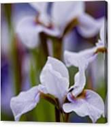 White Japanese Iris Canvas Print