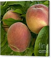 White Lady Peaches On A Branch Canvas Print