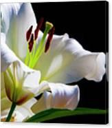 White Lilium Canvas Print