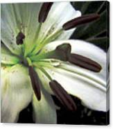 White Lilly Equalized Canvas Print