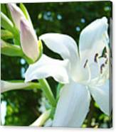 White Lily Flowers Art Prints Lilies Giclee Baslee Troutman Canvas Print