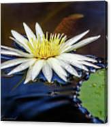 White Lily On Pond Canvas Print