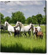 White Lipizzaner Mares Horse Breed With Dark Foals Grazing In A  Canvas Print