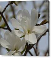 White Magnolia Blooming In Spring Canvas Print