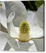 White Magnolia Macro  Canvas Print