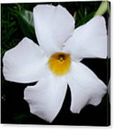 White Mandevilla Canvas Print