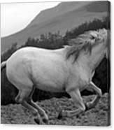 White Mare Gallops #1 -  Close Up Black And White Canvas Print