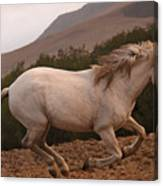 White Mare Gallops #1 -  Close Up Brighter Canvas Print