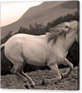 White Mare Gallops #1 -  Close Up Sepia Canvas Print