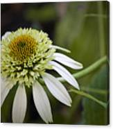 White Milkshake Coneflower Canvas Print