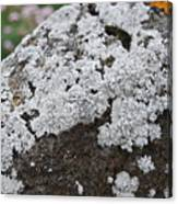 White Moss Canvas Print