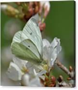 White Moth On Blossom Canvas Print