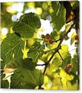 White Mulberries Canvas Print